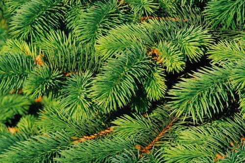Close-Up Photo of Green Pine Tree Leaves
