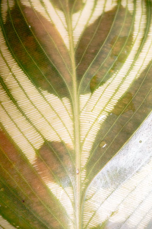 Gentle green leaf of Calathea makoyana plant