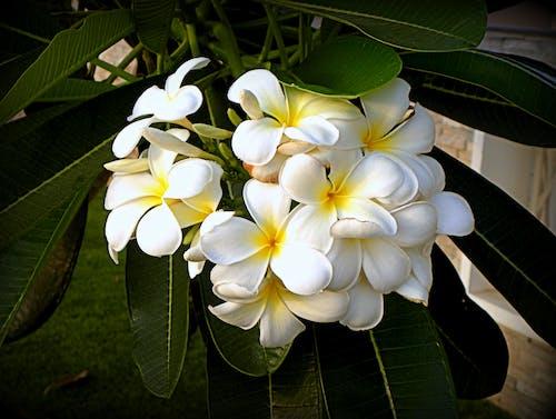 Free stock photo of Blüte, tropische pflanze, weißen blüten