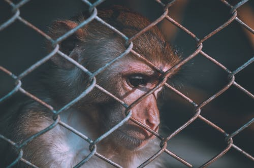 Brown Monkey on Chain Link Fence
