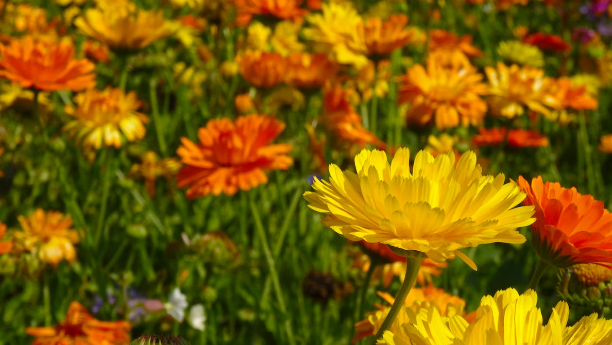 Selective Focus Photo of Yellow and Orange Petaled Flower Field