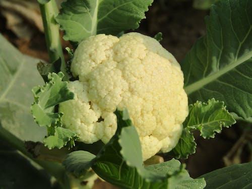 Free stock photo of cauliflower