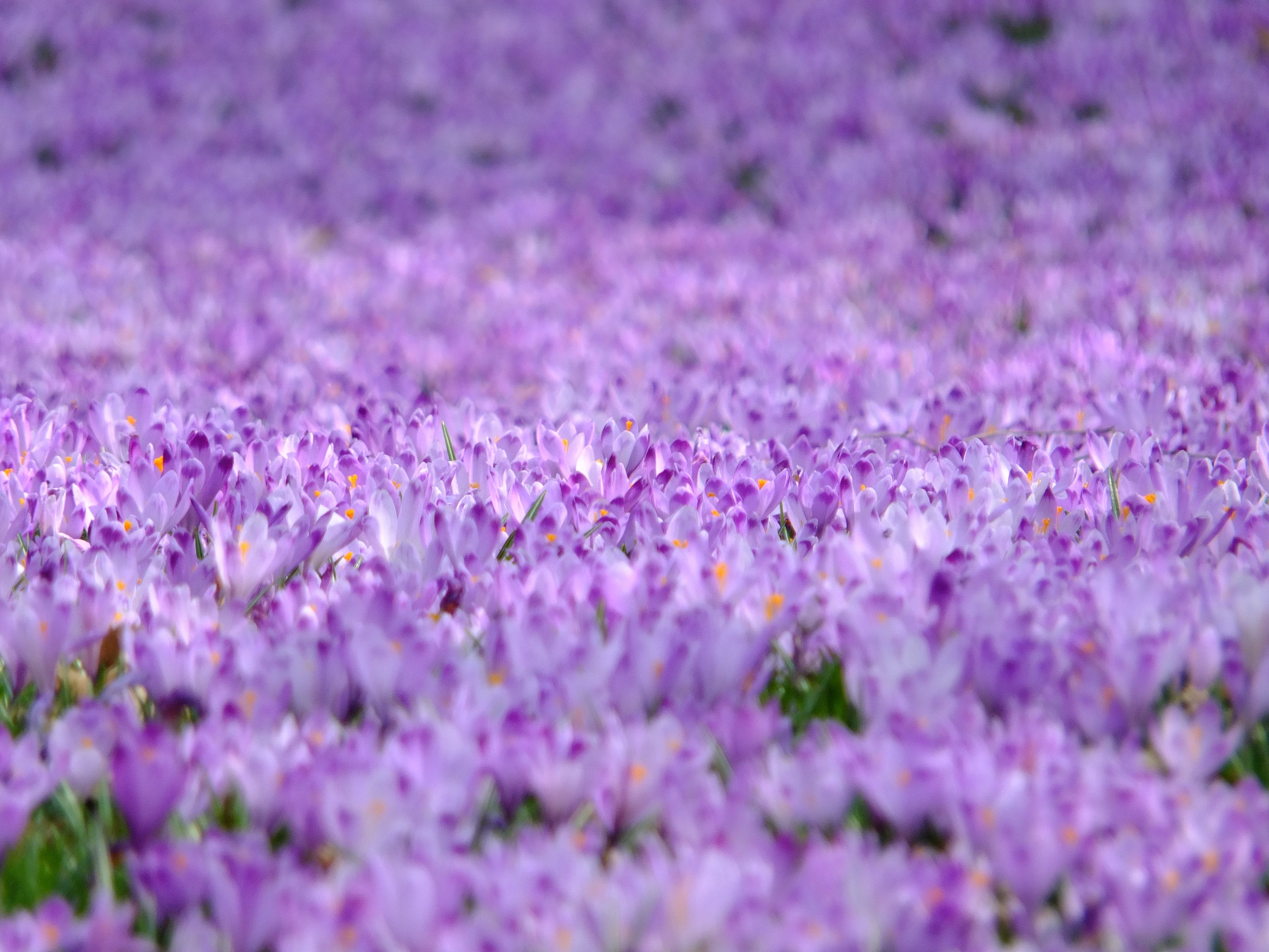 Purple Flower Field