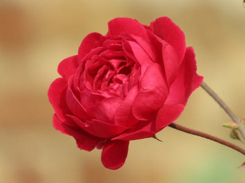 Free stock photo of rose, rosegold, rosequartz, roses
