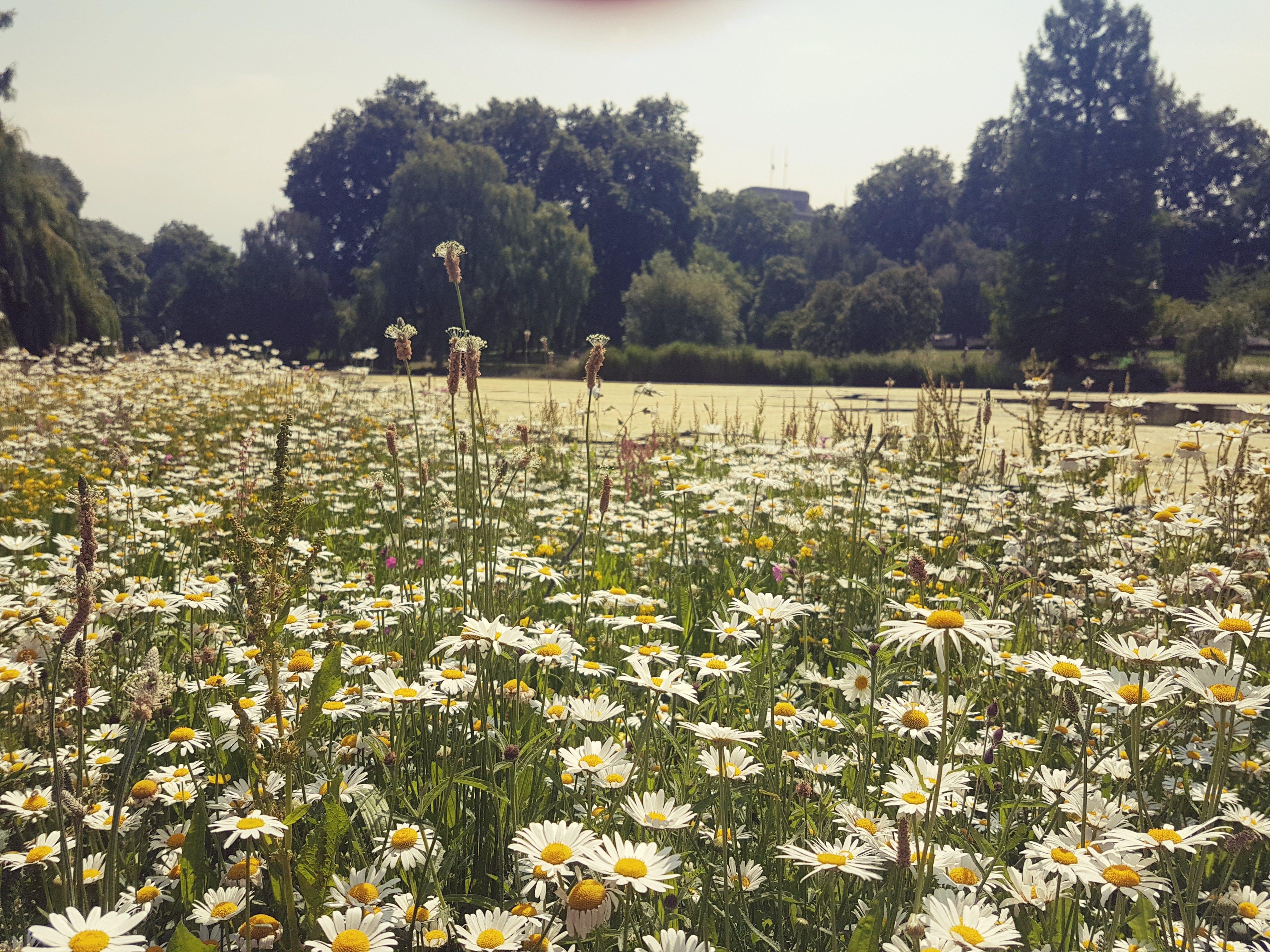 Free stock photo of summer, white daisies