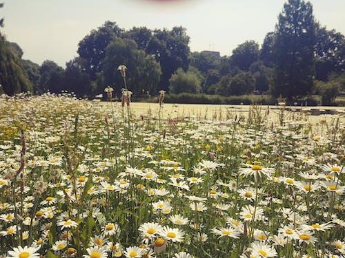夏, 白いヒナギクの無料の写真素材