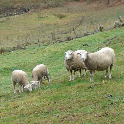 Free stock photo of ganado, ovejas