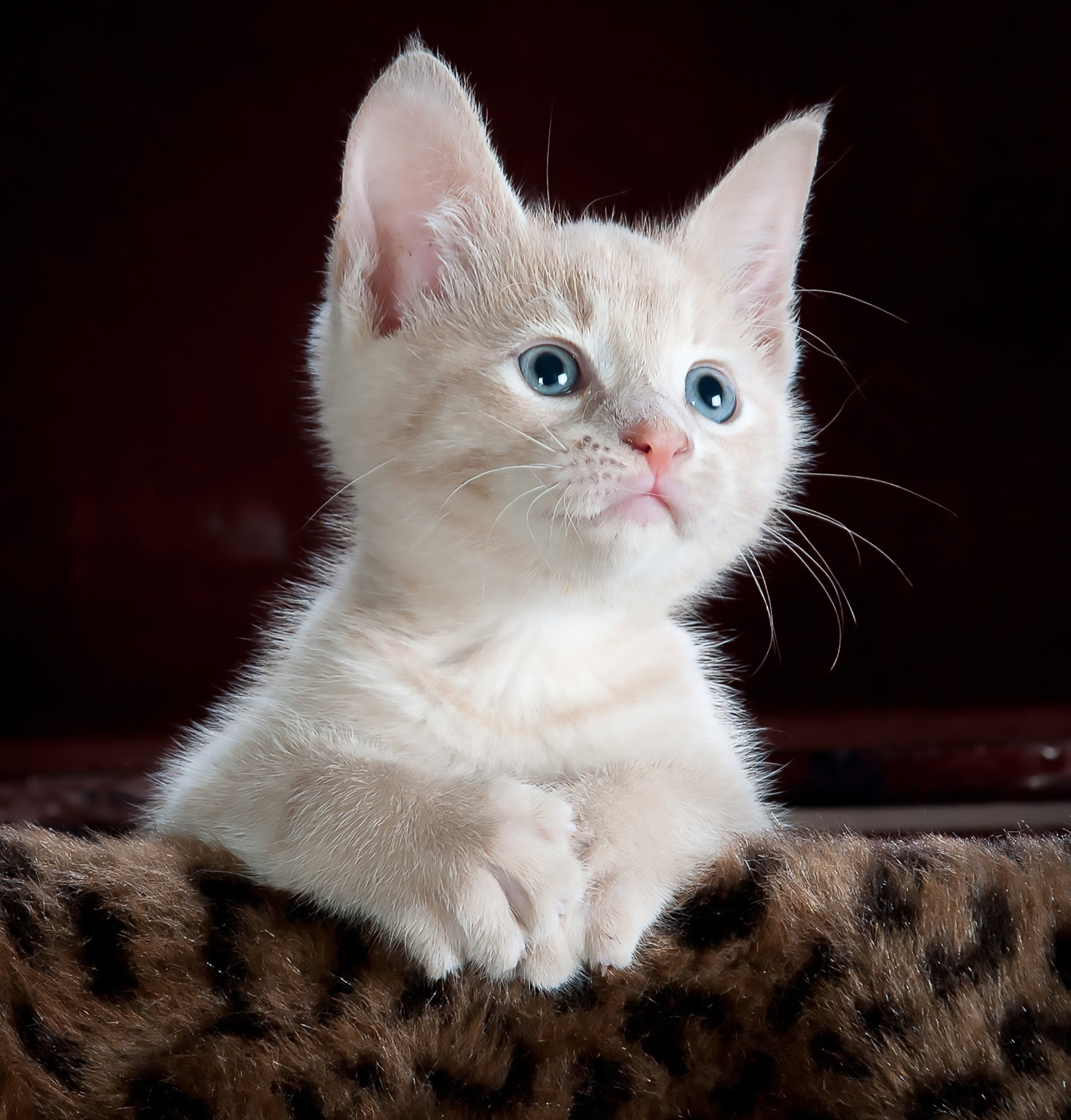 White and Grey Kitten on Brown and Black Leopard Print Textile