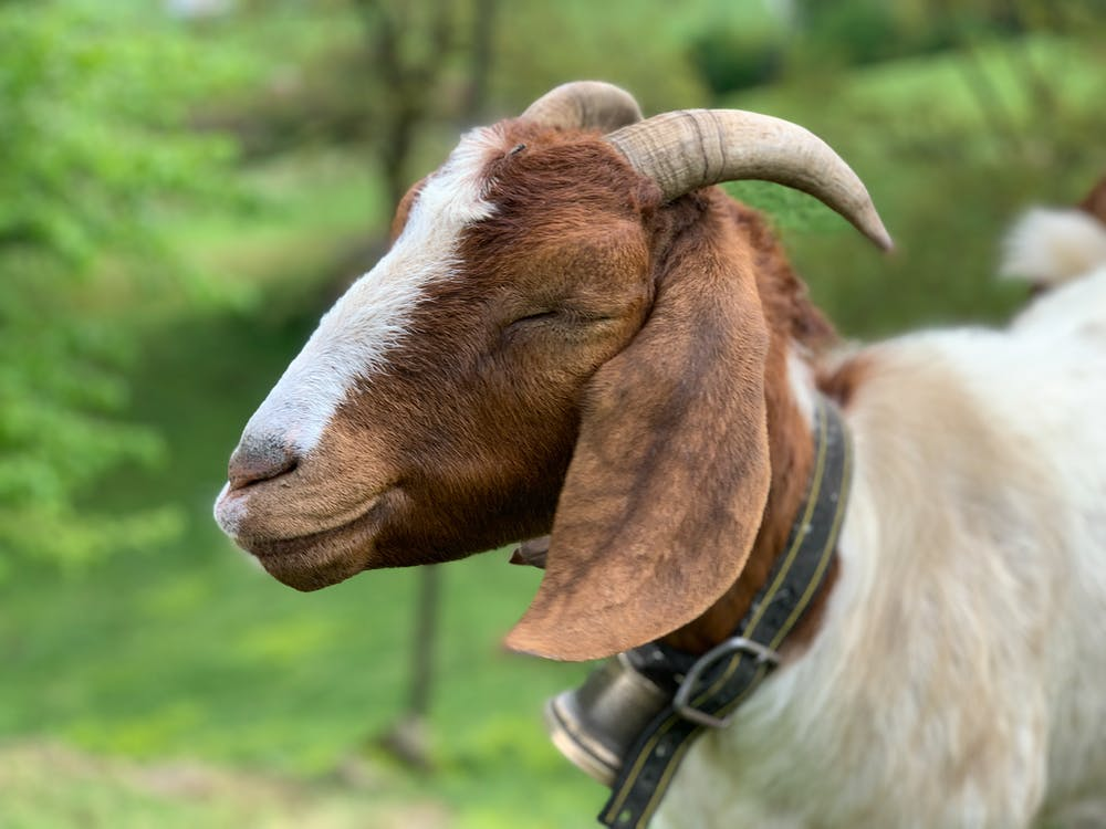 Cute goat with horns in green meadow