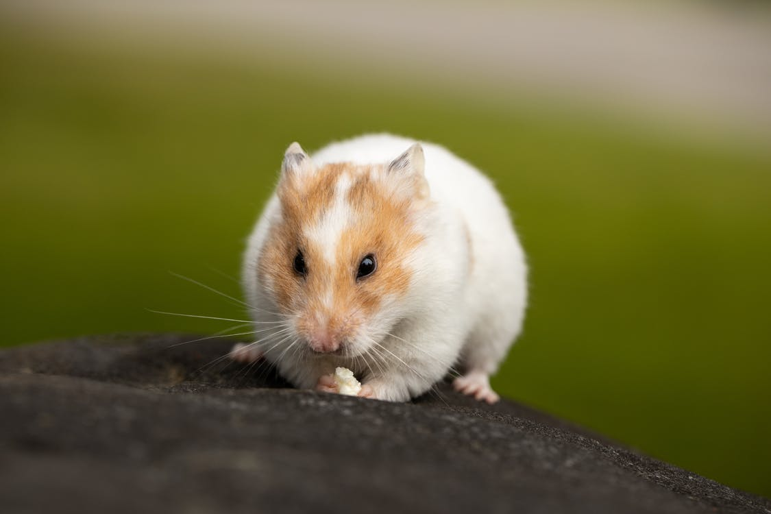 White and Brown Hamster on Black Surface