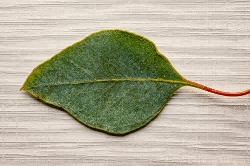 Top view of fresh leaf of exotic plant with tiny petiole placed on wooden surface during daylight in light studio