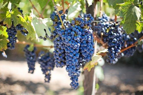 Gratis arkivbilde med druer, frukt, lilla druer, napa vingård