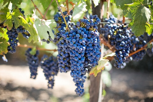 Free stock photo of fruits, grapes, vineyard, vine