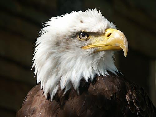 Fotos de stock gratuitas de águila, Águila calva, animal, fotografía de animales