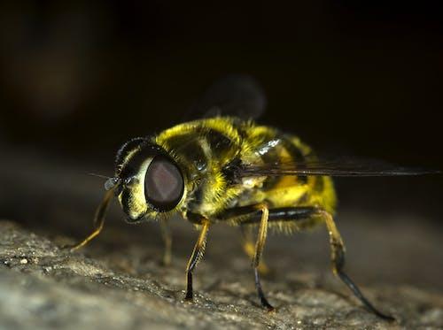 Δωρεάν στοκ φωτογραφιών με macro, myathropa florea, γκρο πλαν, έντομο