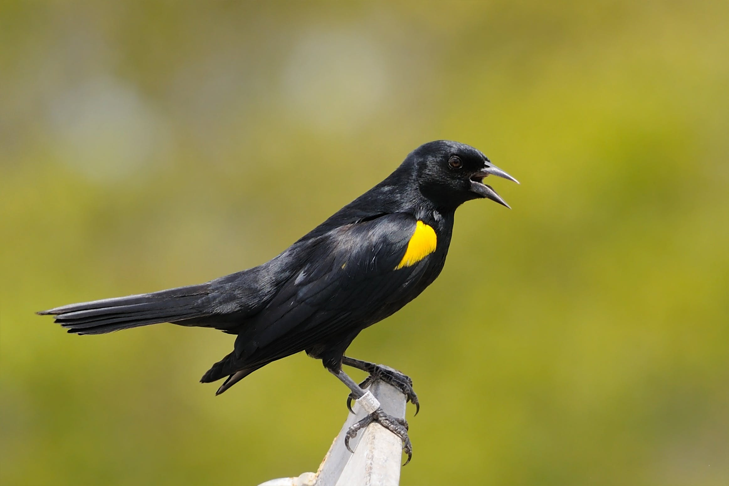 Black and Yellow Crow