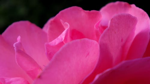 Free stock photo of pink, rose