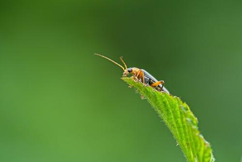 Photos gratuites de animal, beetle, coccinelle, coléoptère