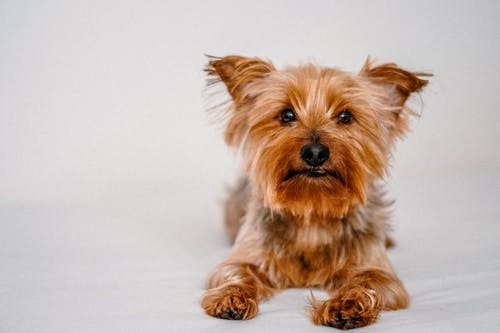 Yorkshire Terrier resting on bed on white background