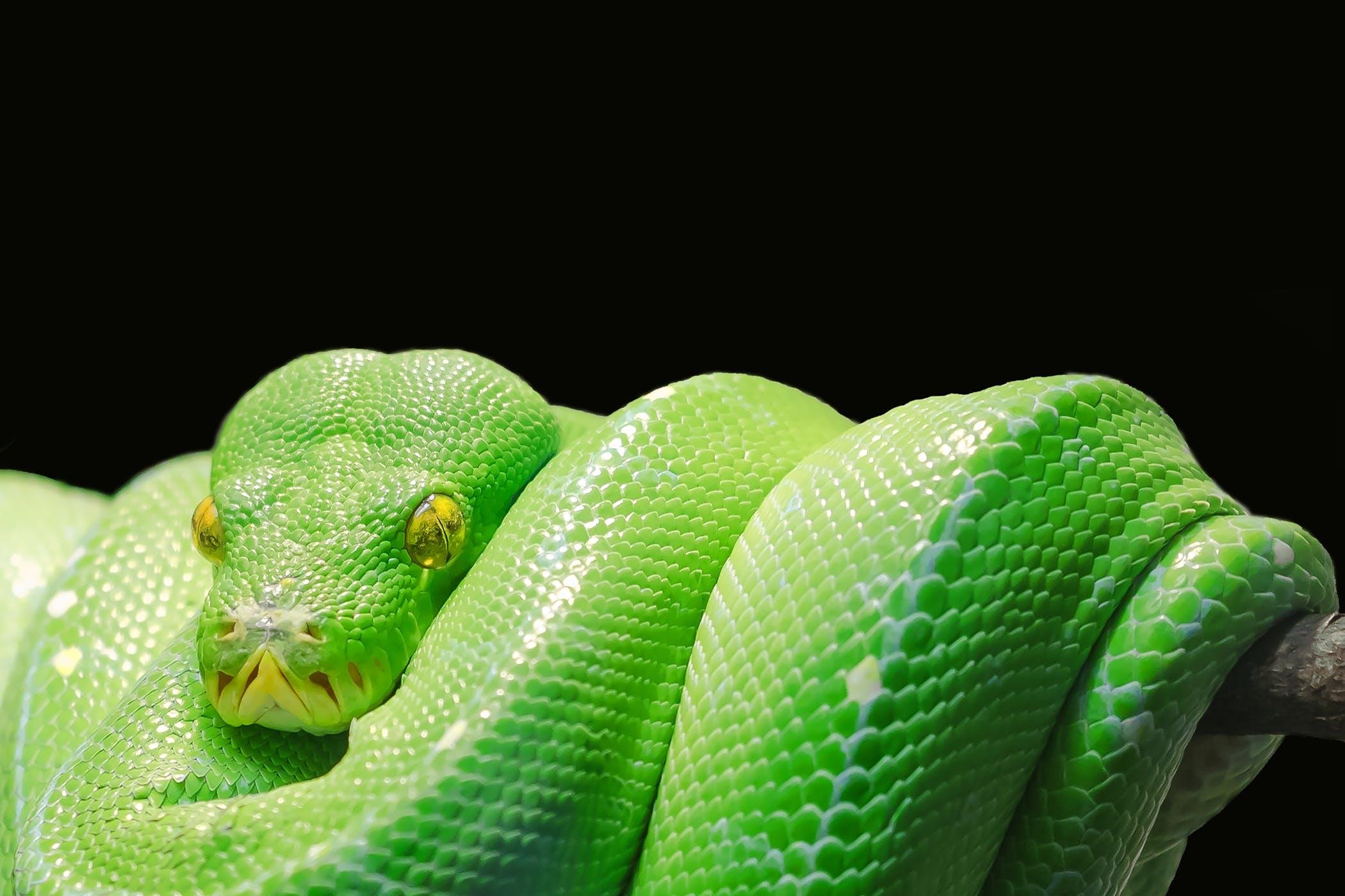 Kostenloses Stock Foto zu tier, grün, reptil, nahansicht