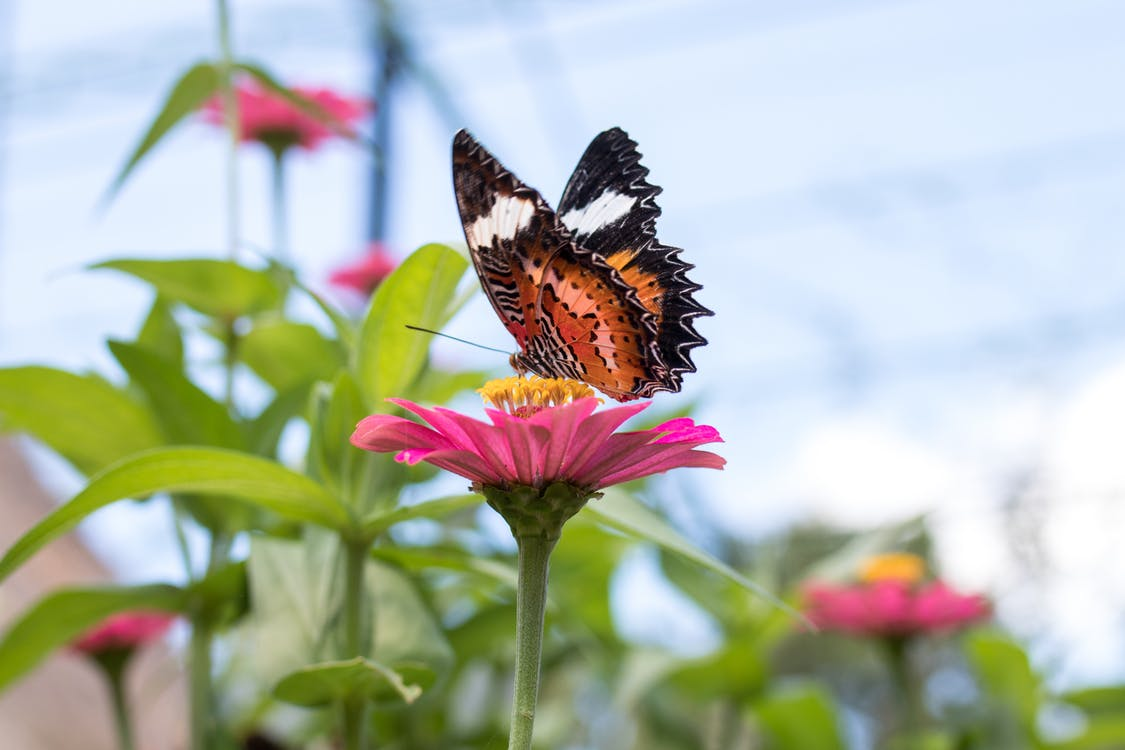 Butterfly on Pink Petaled Flower