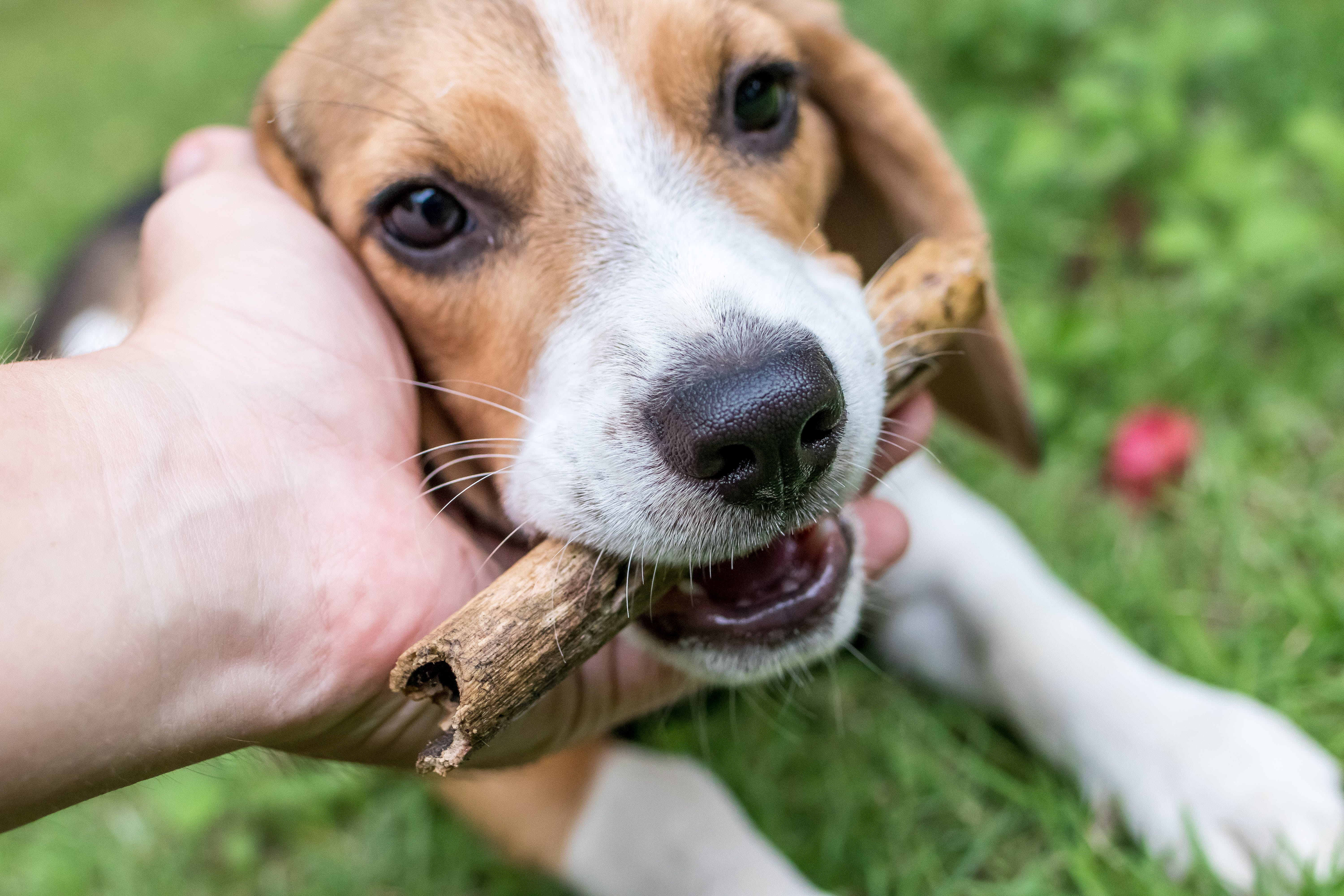 Person Petting Beagle Dog