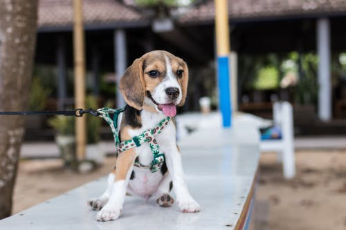Short-coated Brown and White Puppy Tied on Dog Leash While Sitting on White Bench