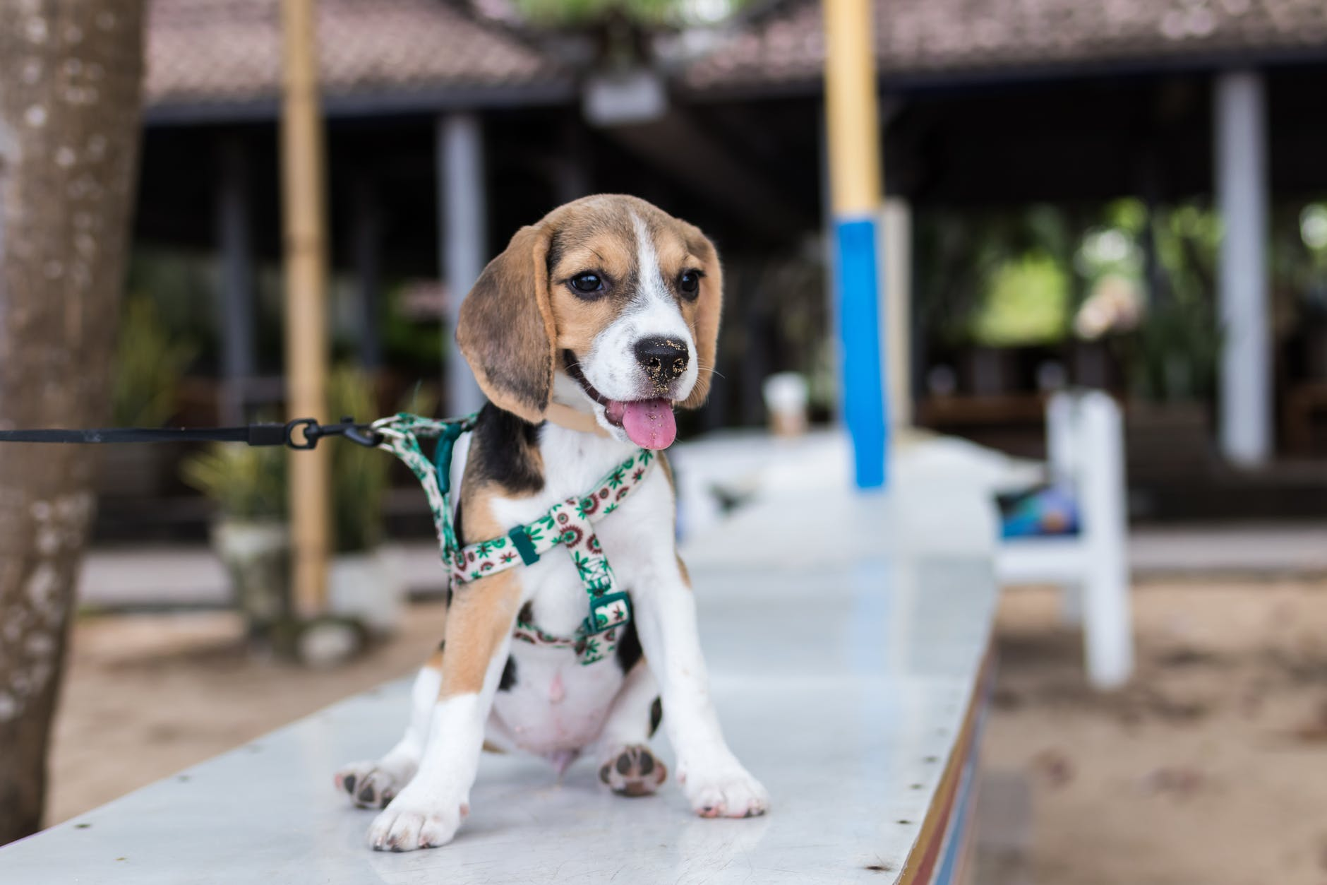 Pic: Artem Bali / https://www.pexels.com/photo/adorable-animal-animal-photography-beagle-452772/