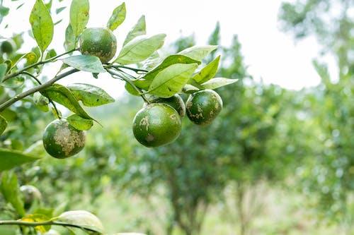 คลังภาพถ่ายฟรี ของ cumquat, fortunella, mandarine, orrange