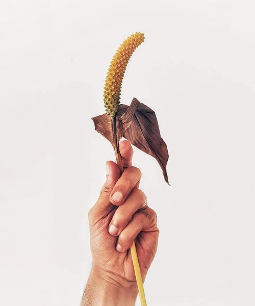 Unrecognizable person holding peace lily flower with withered leaf