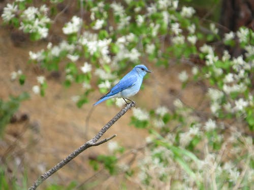 Free stock photo of Male Western Bluebird
