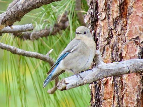 Free stock photo of Female Western Bluebird