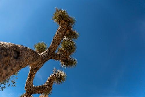 Ilmainen kuvapankkikuva tunnisteilla autiomaassa, joshua puu, jukkapalmu, luonto