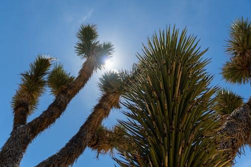 Ilmainen kuvapankkikuva tunnisteilla aavikko, autiomaa, joshua puu, jukkapalmu