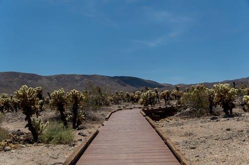 Ilmainen kuvapankkikuva tunnisteilla aavikko, autiomaa, joshua puu, kaktuksenkukka