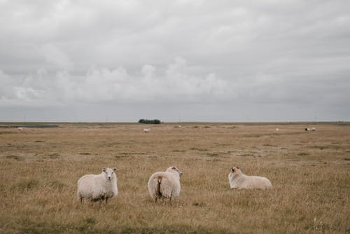 Herd of sheep grazing on pasture grass in countryside against gray cloudy sky