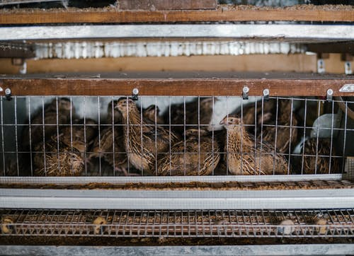 Cute small quails laying eggs in tiny cage with metal racks on farm