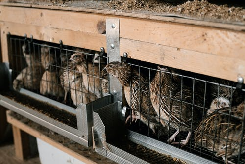 Quails in breeding cage at farm