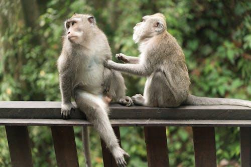 Cute Balinese monkeys grooming each other