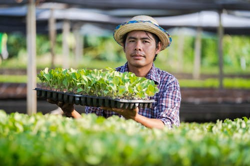 Serious Asian worker with seed tray in glasshouse