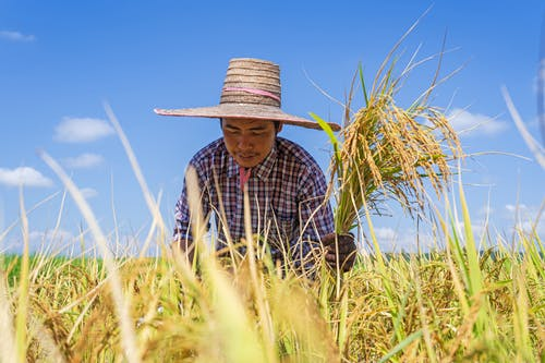 Calm ethnic farmer working in field during harvesting season