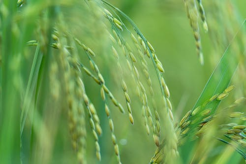 Green seeds and grass of rice plant growing on field