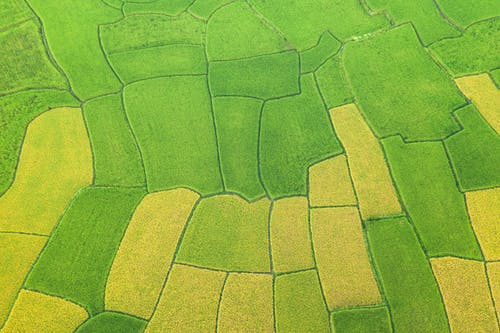 Green and yellow rice fields in countryside
