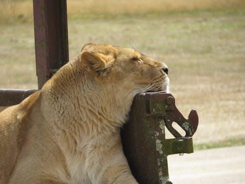 คลังภาพถ่ายฟรี ของ สิงโต