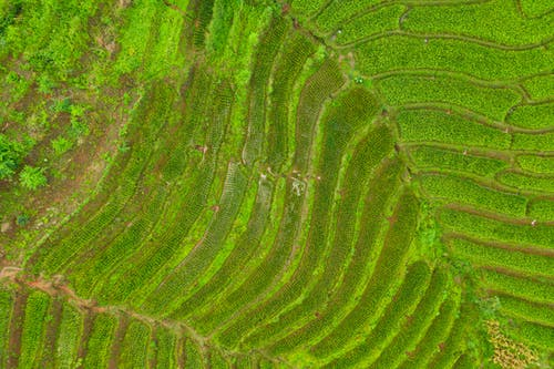 Bright green rice fields in summer in daylight