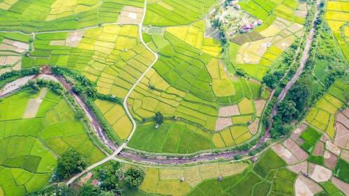 Green and yellow rice fields near wavy roads