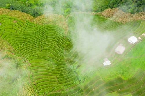 Colorful rice plantations in fog in summer