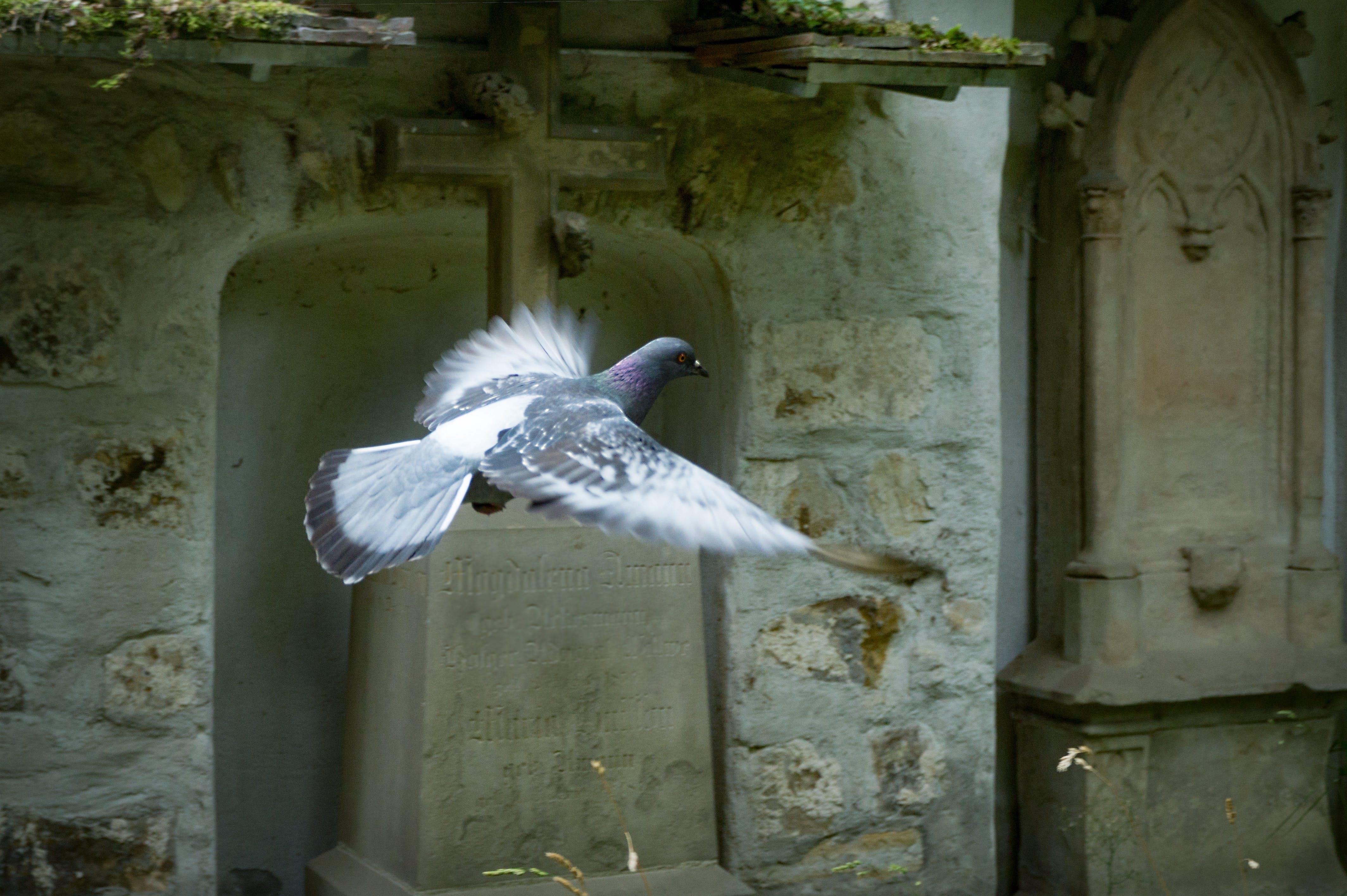 bird, cross, pigeon