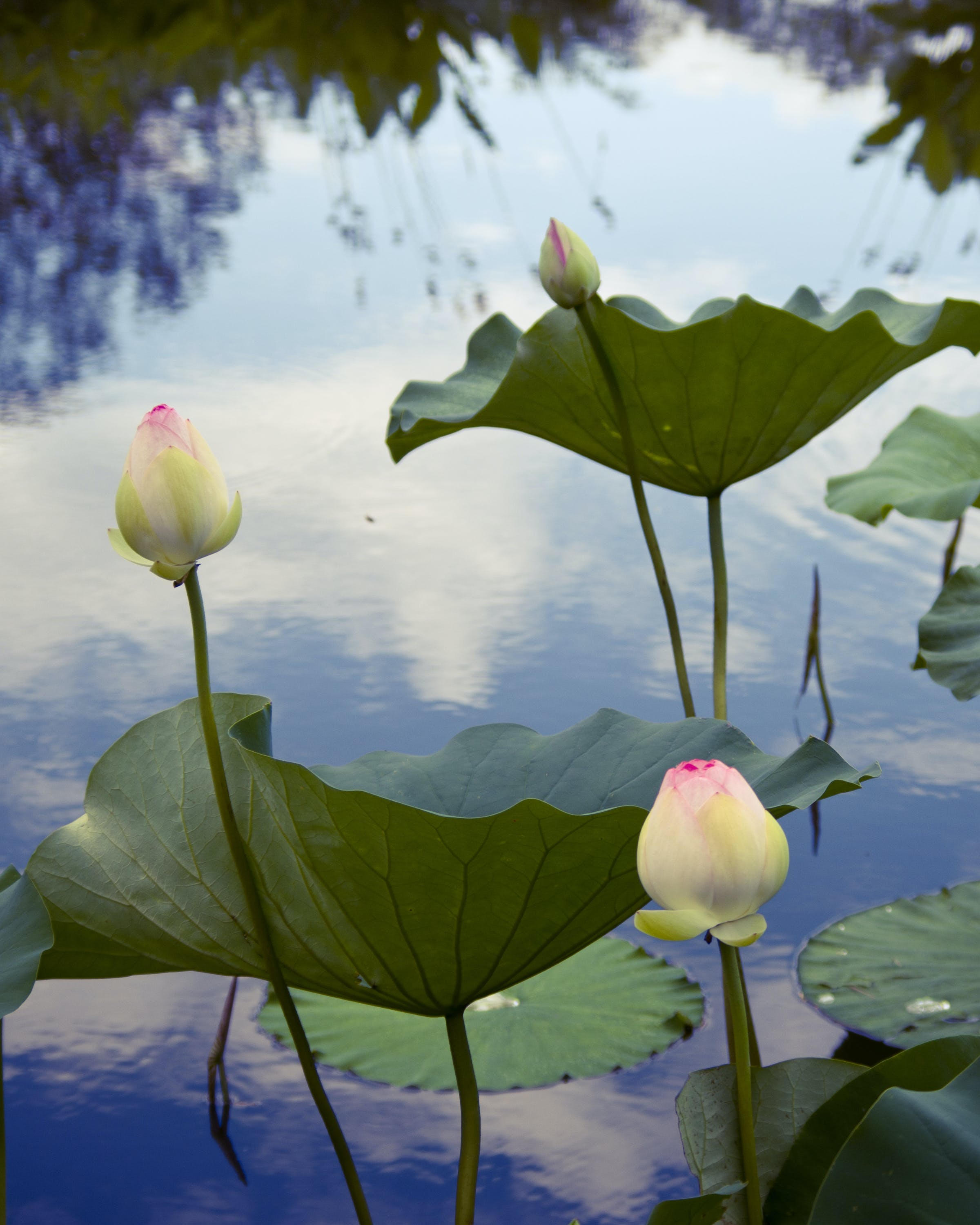 Free stock photo of aquatic plants, blossoms, flowers, lilypond