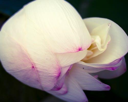 Darmowe zdjęcie z galerii z kwiat, lotos, płatki